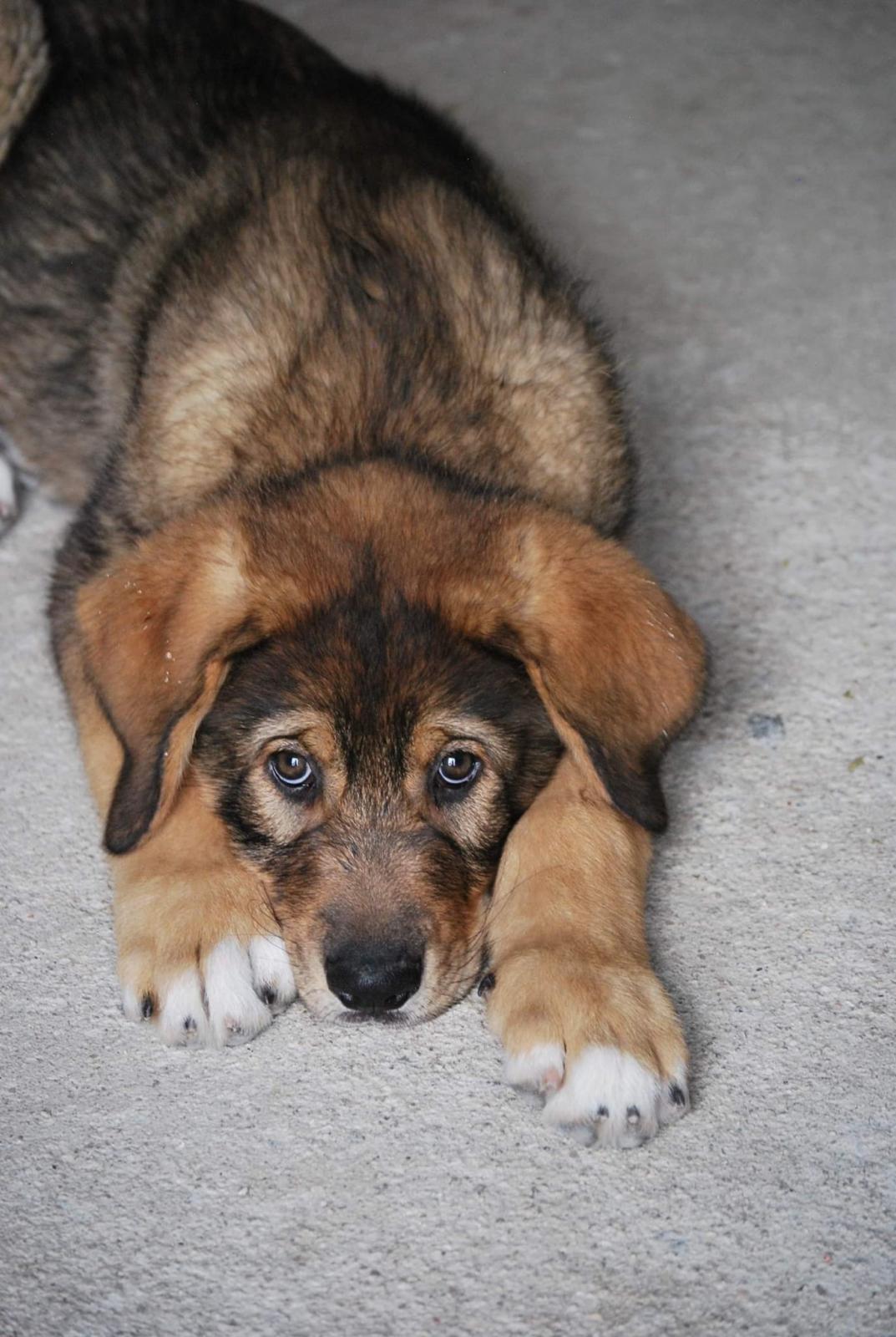 Brisca, cachorra de mastín en adopción