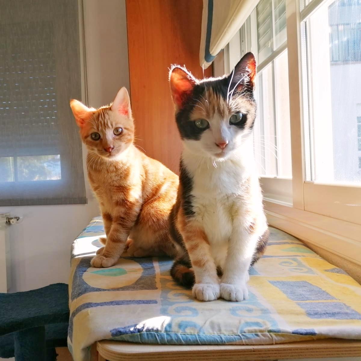 Wasabi, gatito rubio en adopción