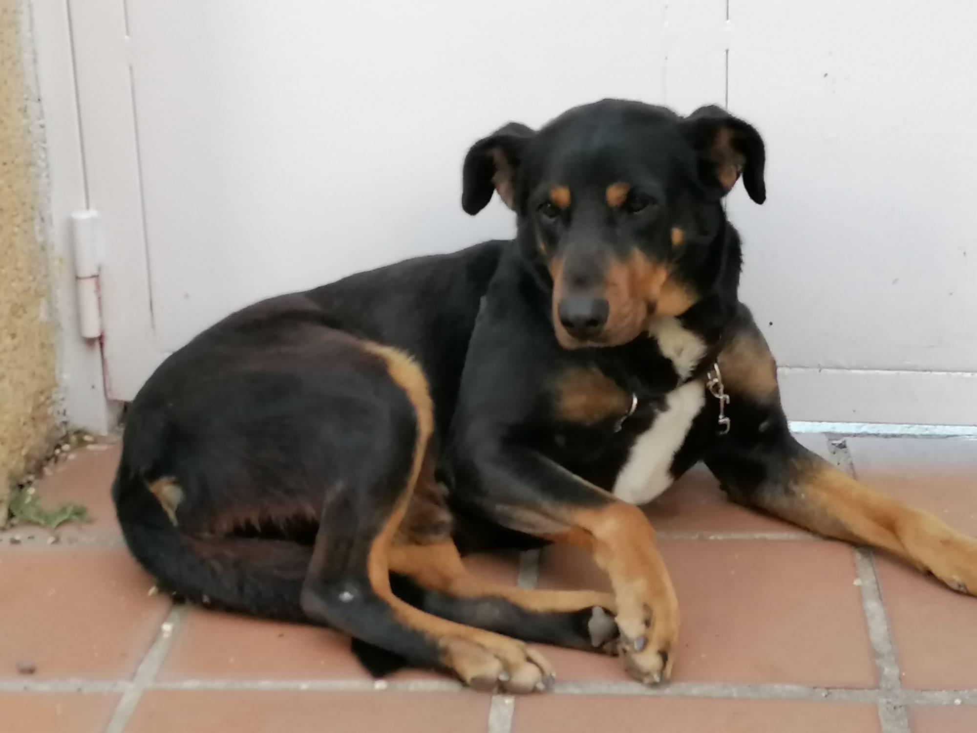 Darko, perro supercasero en adopción