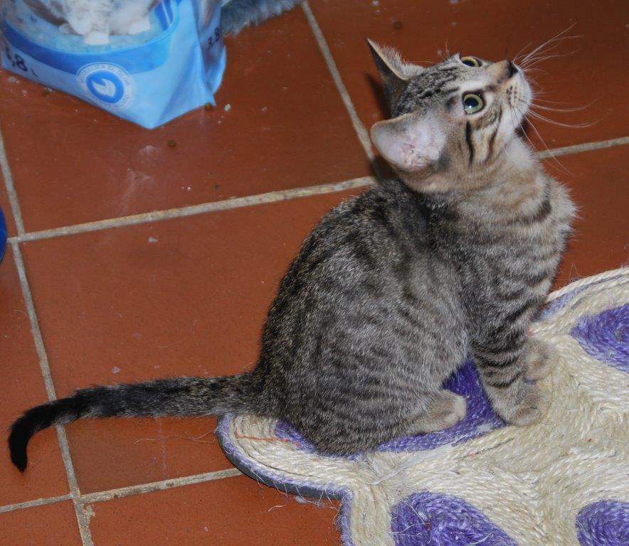 Cartier, gatito en adopción en De CERO AdoptaUNO