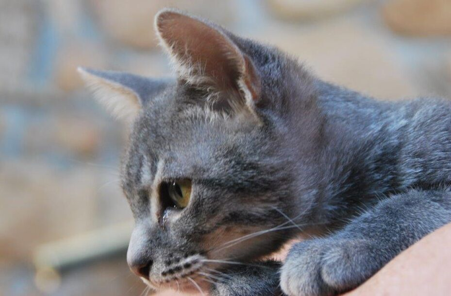 Pana, gatita en adopción en De CERO AdoptaUNO