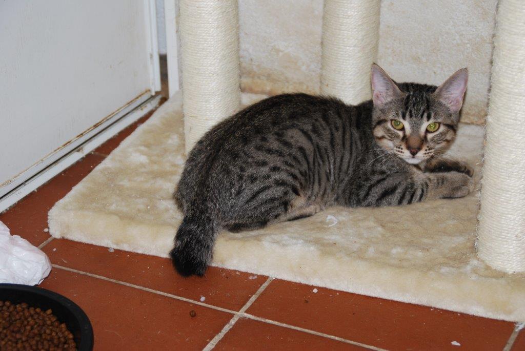 Rolex, gatito en adopción en De CERO AdoptaUNO